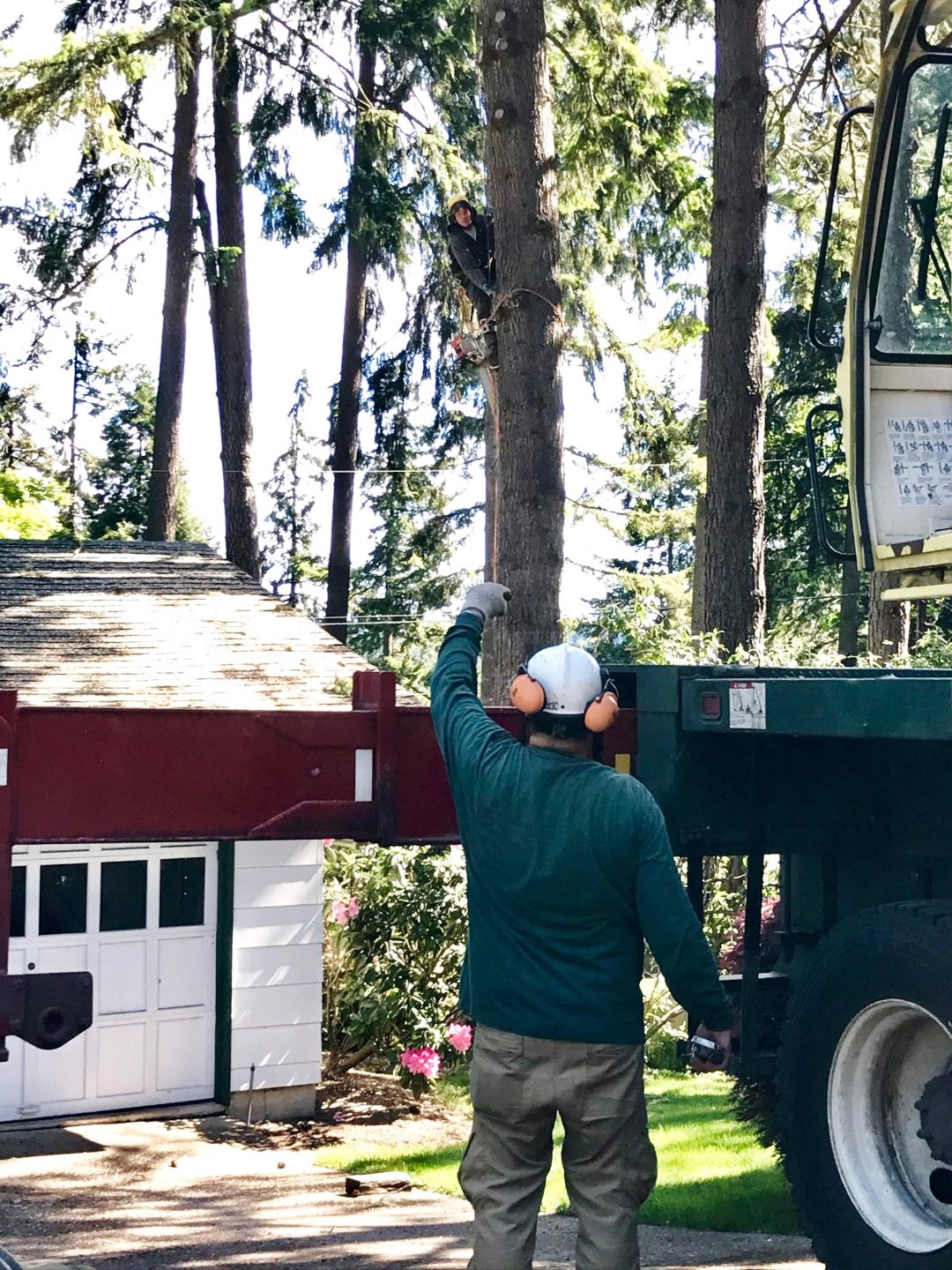 A tree removal underway in Eugene, OR